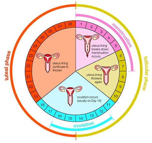 Цикл беременности